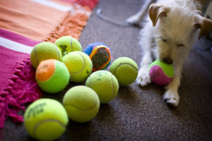 A puppy chewing a tennis ball - Flickr - Jenn Vargas