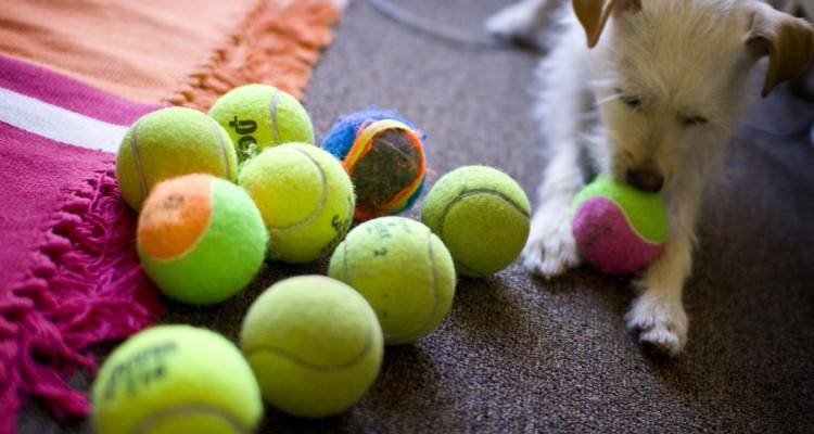 A puppy chewing a tennis ball - Flickr - Jenn Vargas